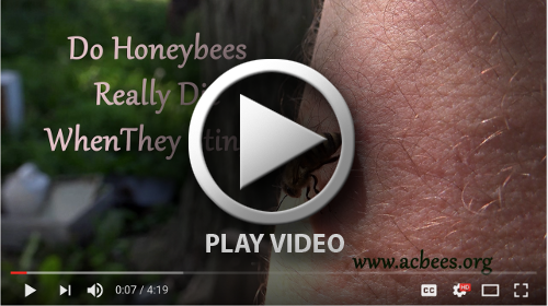 Do honeybees really die when they sting you