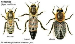 3-honeybee-types-300-2