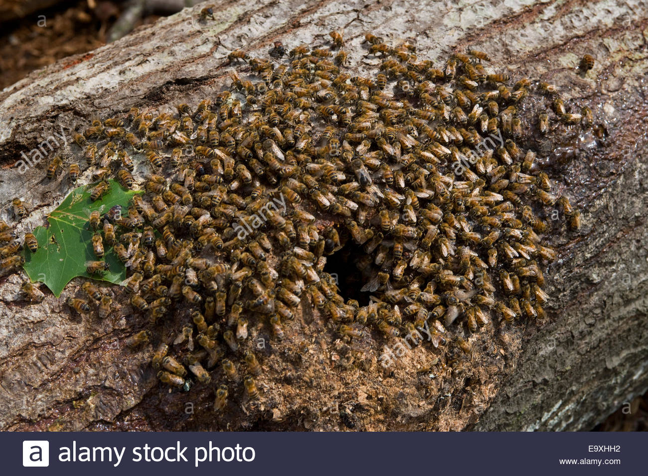 wild-honey-bees-swarm-around-the-opening-of-a-hollow-log-in-which-E9XHH2