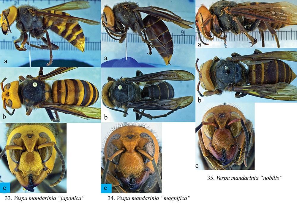 14Vespa_plate_14-figs-33-35-resized