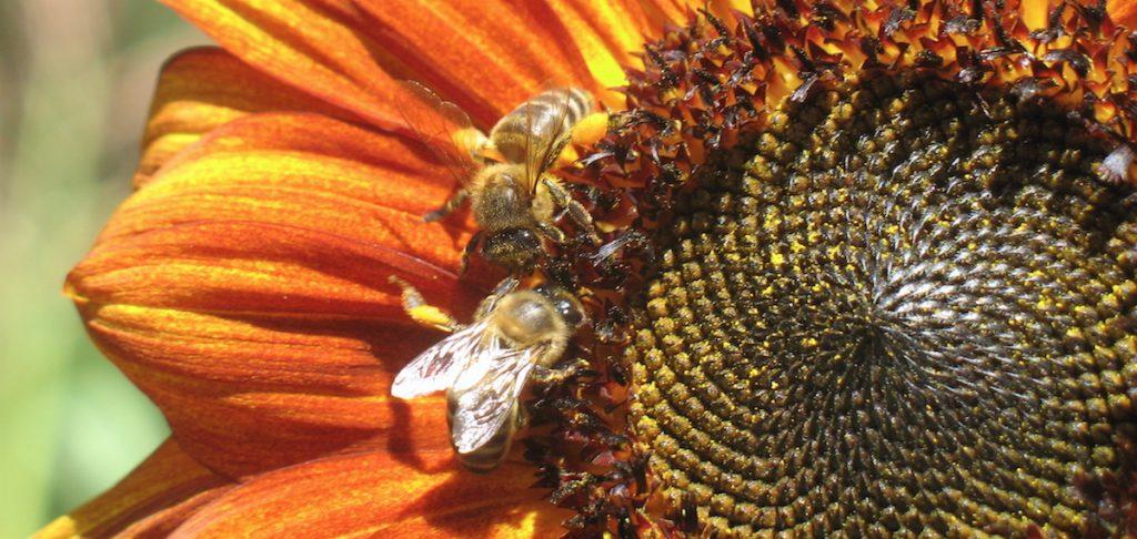 bees-on-sunflower_photo-lilian_beewisdom-1024x486